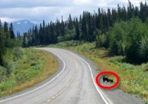 Grizzly mit Baby am Alaska Highway (Suchbild)